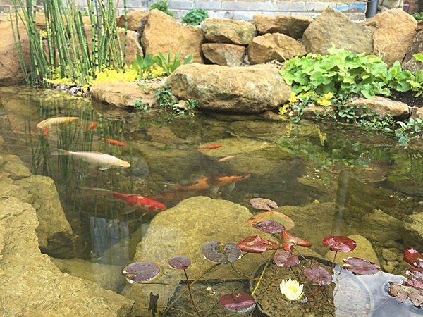Koi Pond with Plants…and Rocks