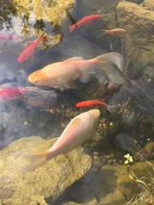 Informal Fish Pond Design