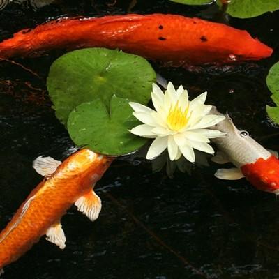 Koi Carp + Plants
