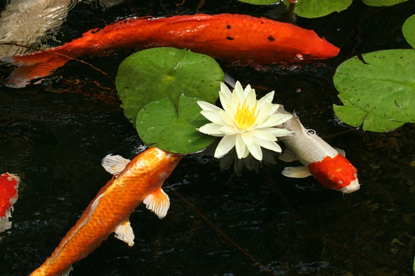Balanced Koi Carp and Pond Plants