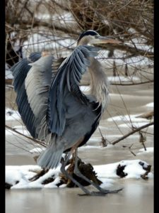 How to keep herons away from garden ponds