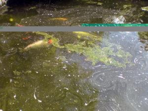 algae outbreak garden pond